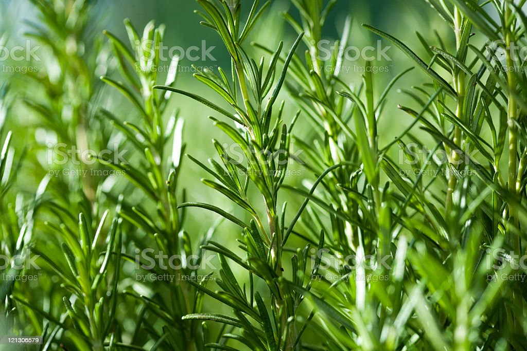 Close up image of rosemary growing in a garden stock photo