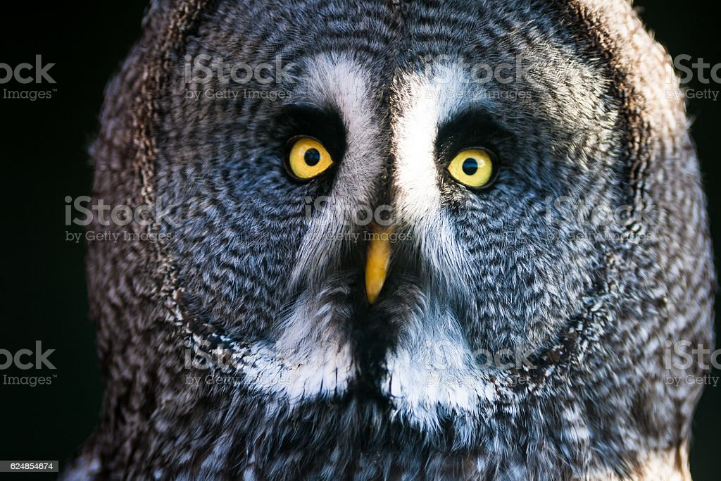 Close up image of the face of a Great Grey Owl stock photo