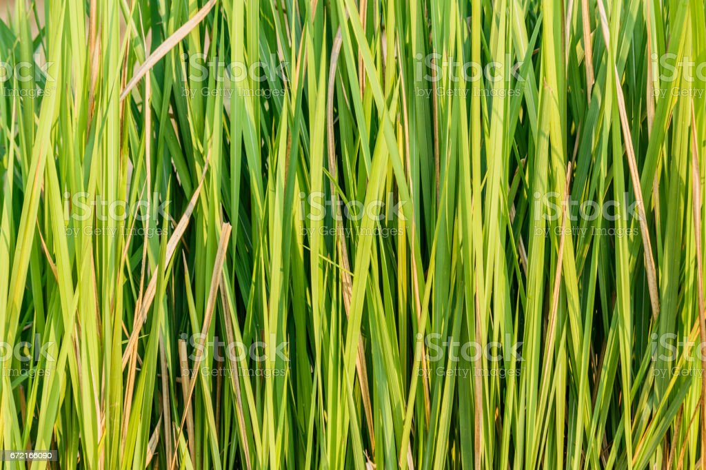 Close up Imperata cylindrica Beauv  in nature stock photo