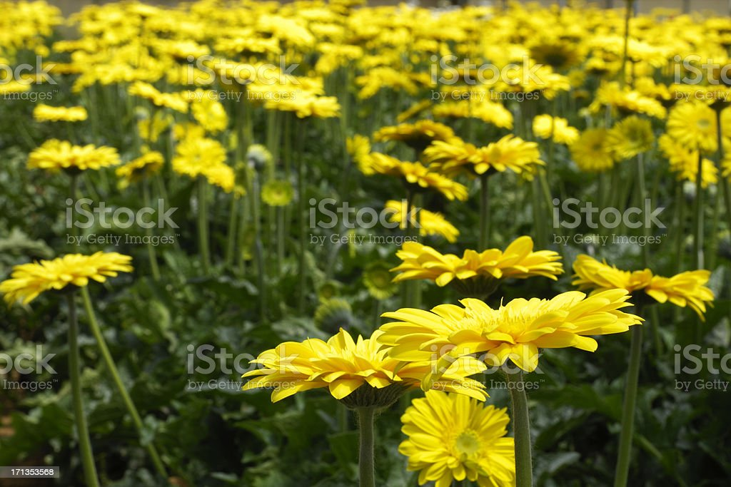 Close up in field of yellow gerbera daisies. stock photo