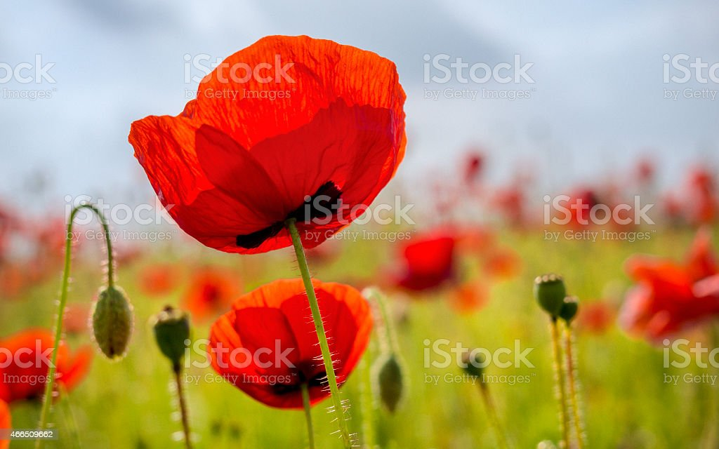 Close up in poppy field and sun stock photo