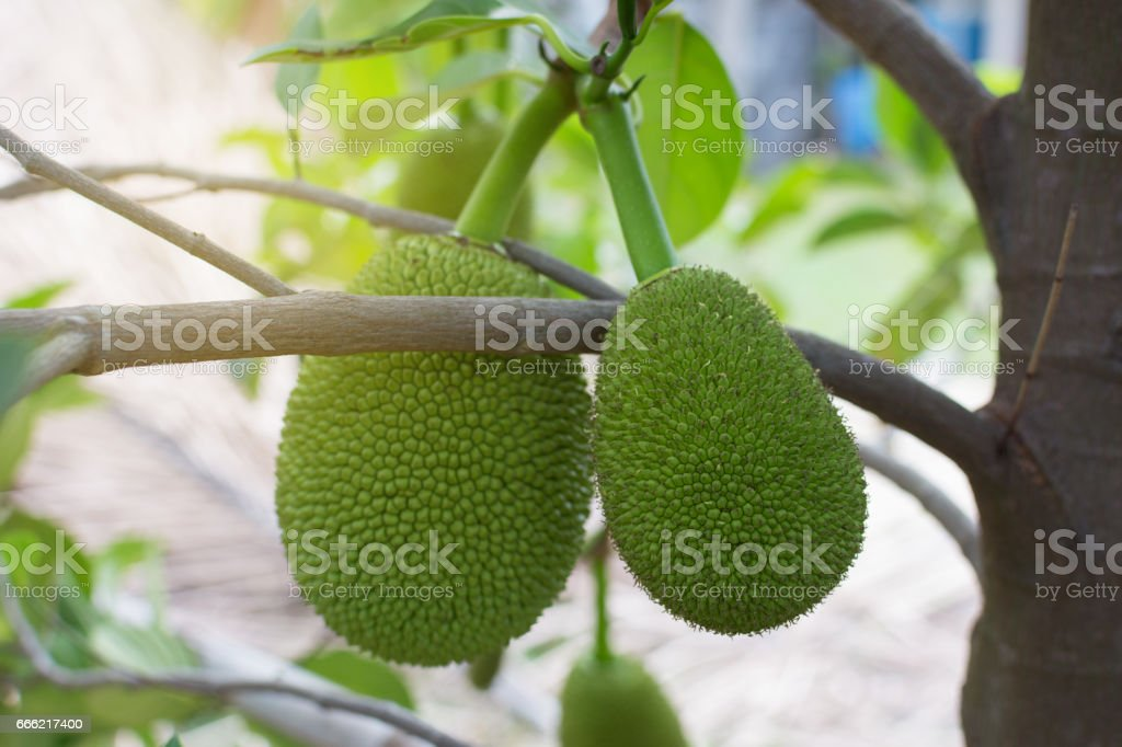 Close up Jackfruit fresh on tree, Thai fruit. stock photo