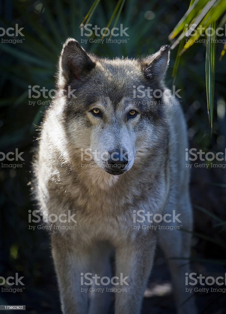 Close Up Large Male Wolf in Palmettos royalty-free stock photo