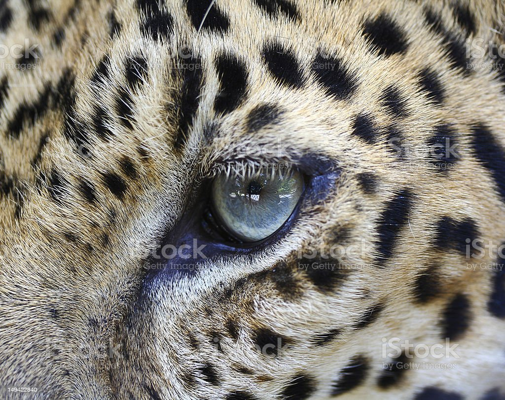 Close up Leopard eye royalty-free stock photo