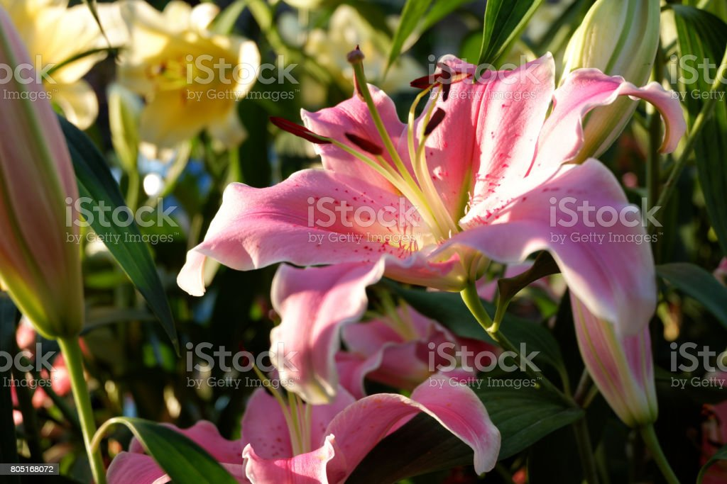 Close up Lilly flower in the garden during evening sunset stock photo
