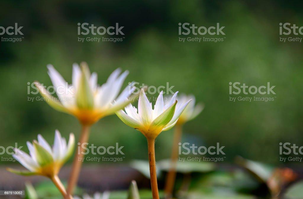 close up little lotus flower stock photo