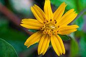 Close up little yellow star flower with green garden background