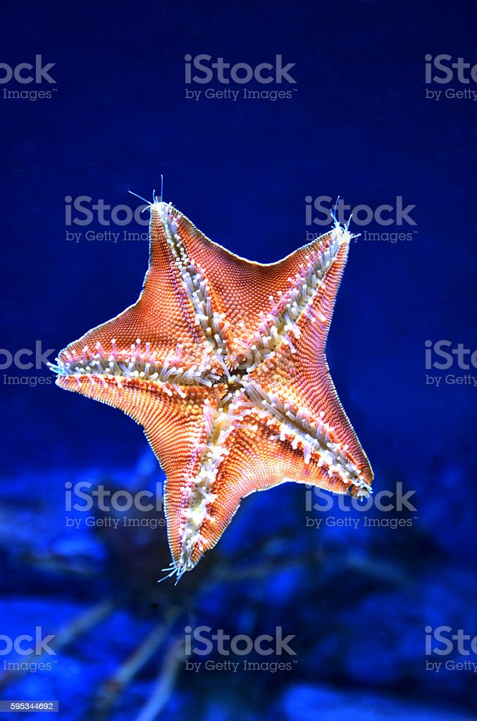 close up  live back of starfish with dark blue background royalty-free stock photo