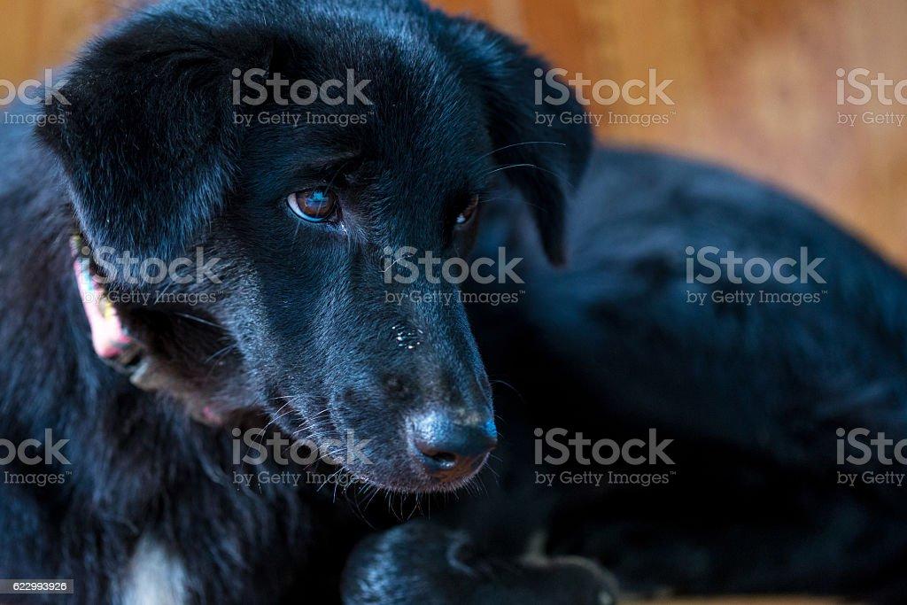 close up lonely thai black dog stock photo