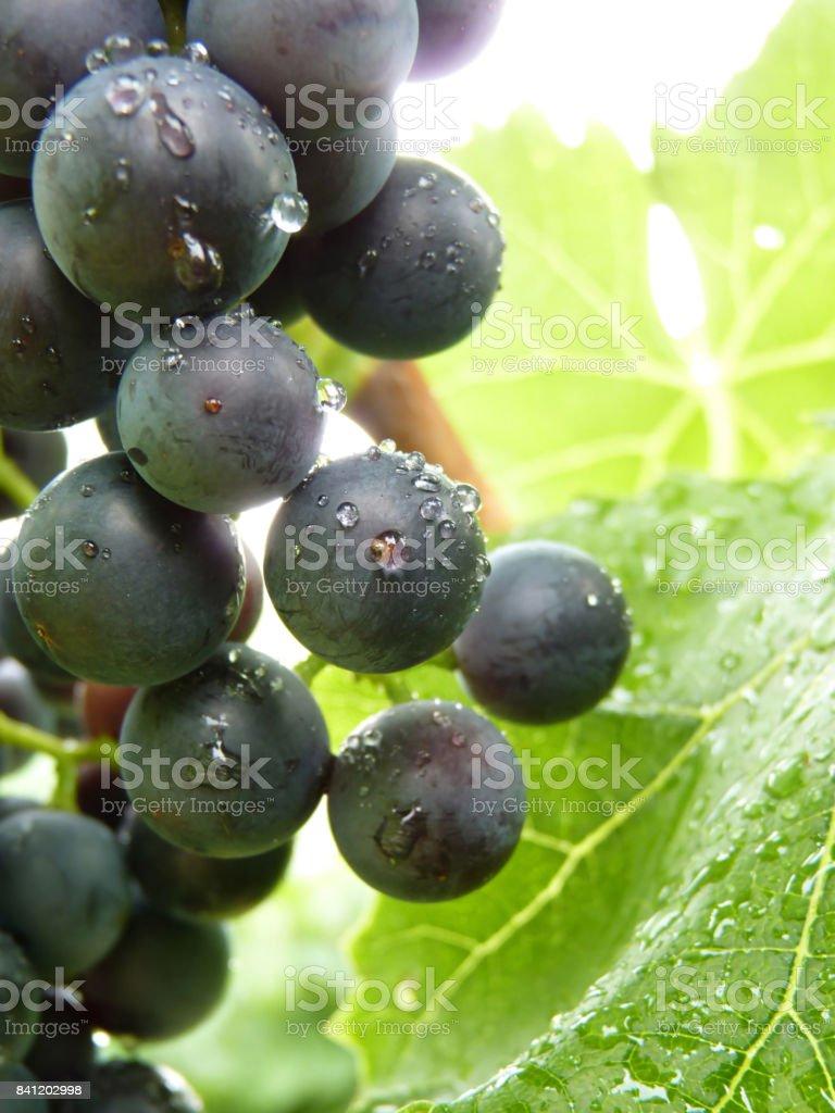 Close Up Macro of Drops on Blue Grape stock photo