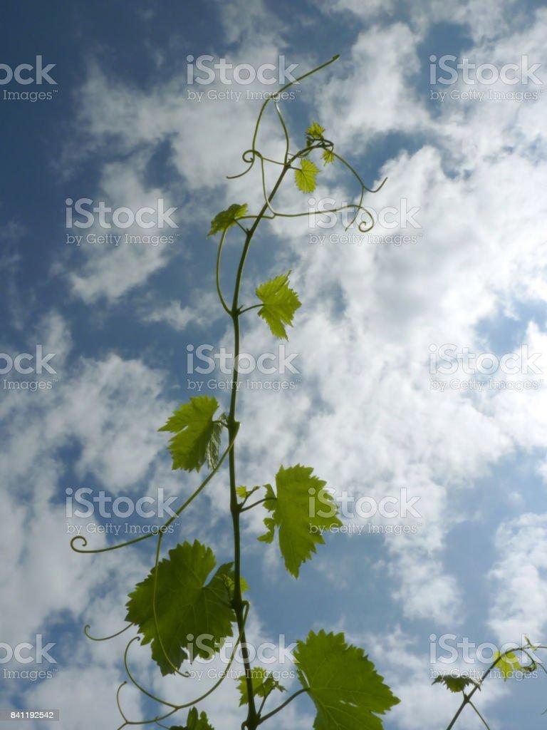 Close Up Macro of Grape Vine Branch stock photo