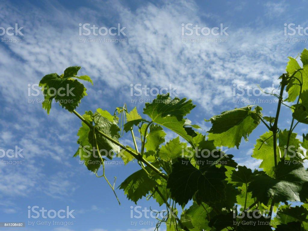 Close Up Macro of Grape Vine Branches stock photo