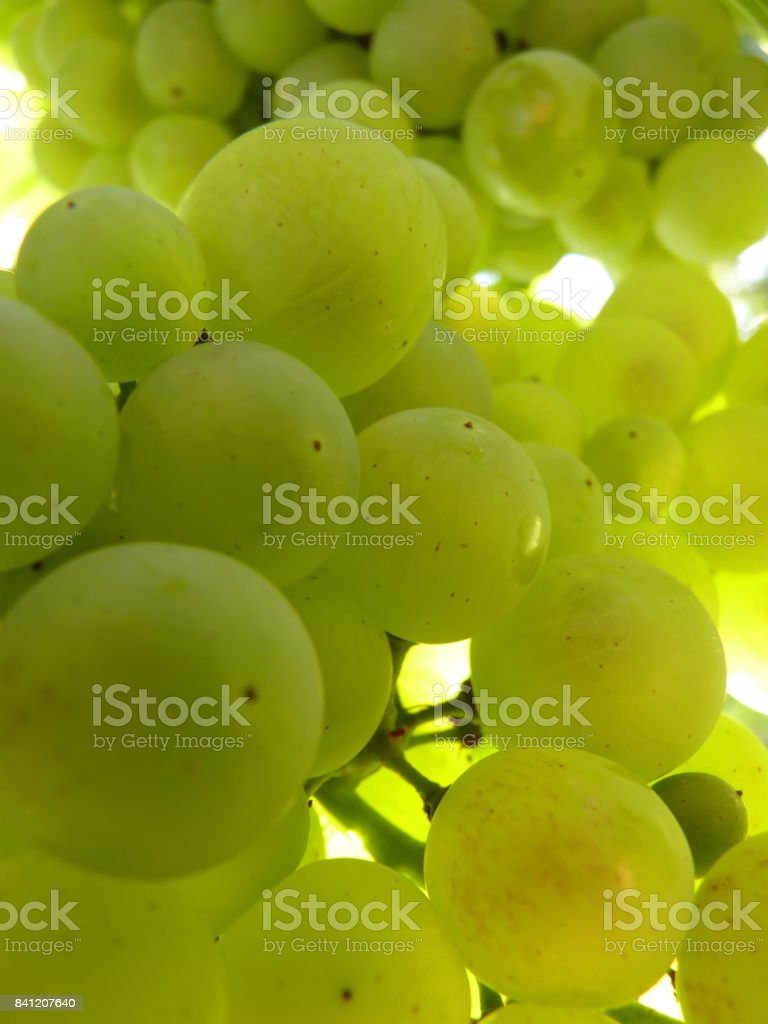 Close Up Macro of Ripe Translucent Grape Cluster on Vine stock photo