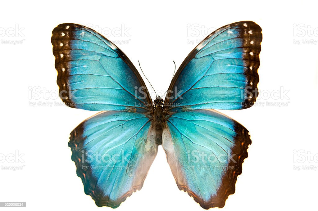close up macro shot of a blue butterfly isolated stock photo