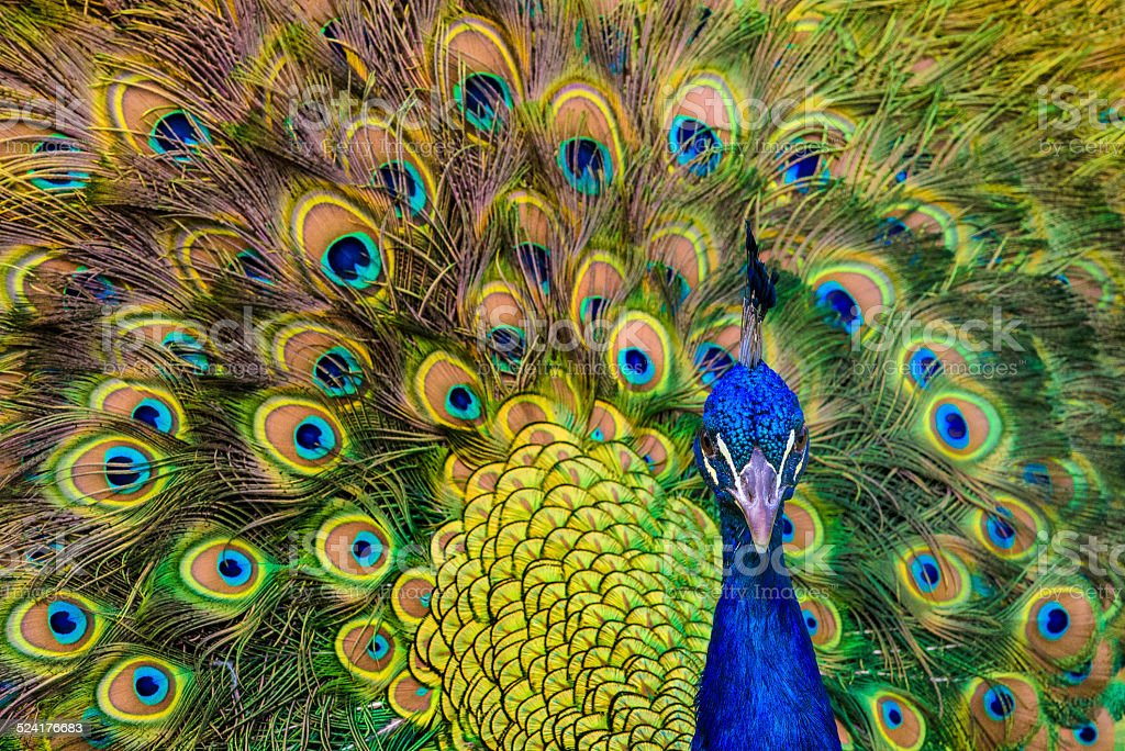 Close Up, Male Peacock stock photo
