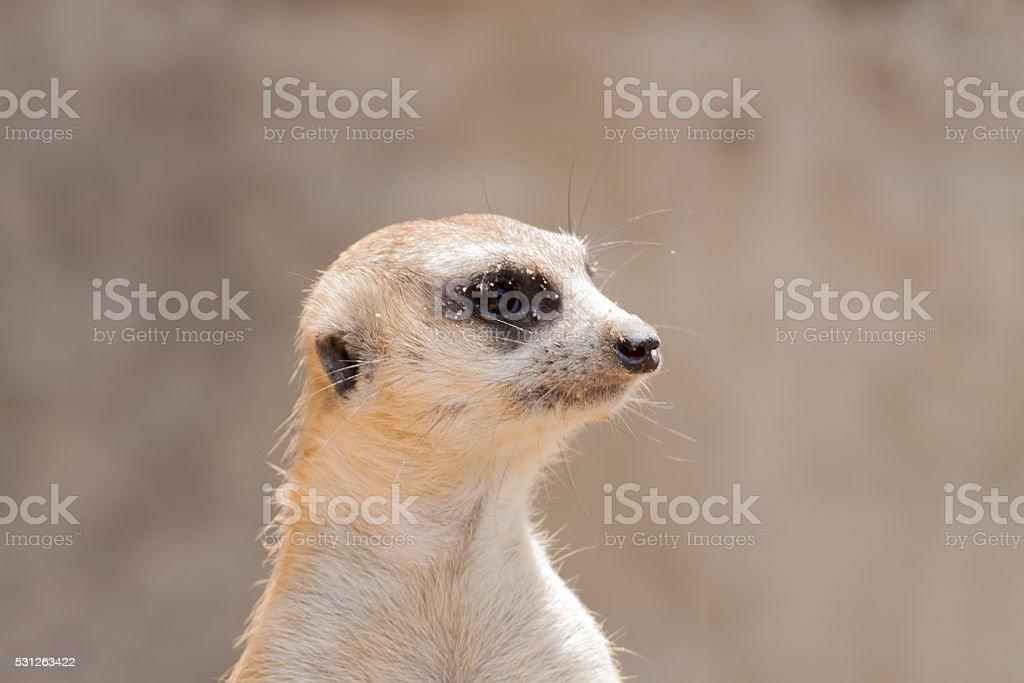 Close up meerkat head royalty-free stock photo