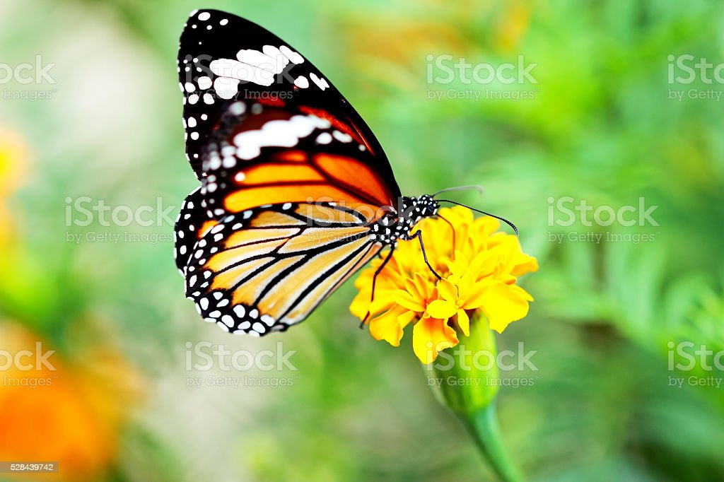 Close up Monarch Butterfly holding on yellow flower. stock photo