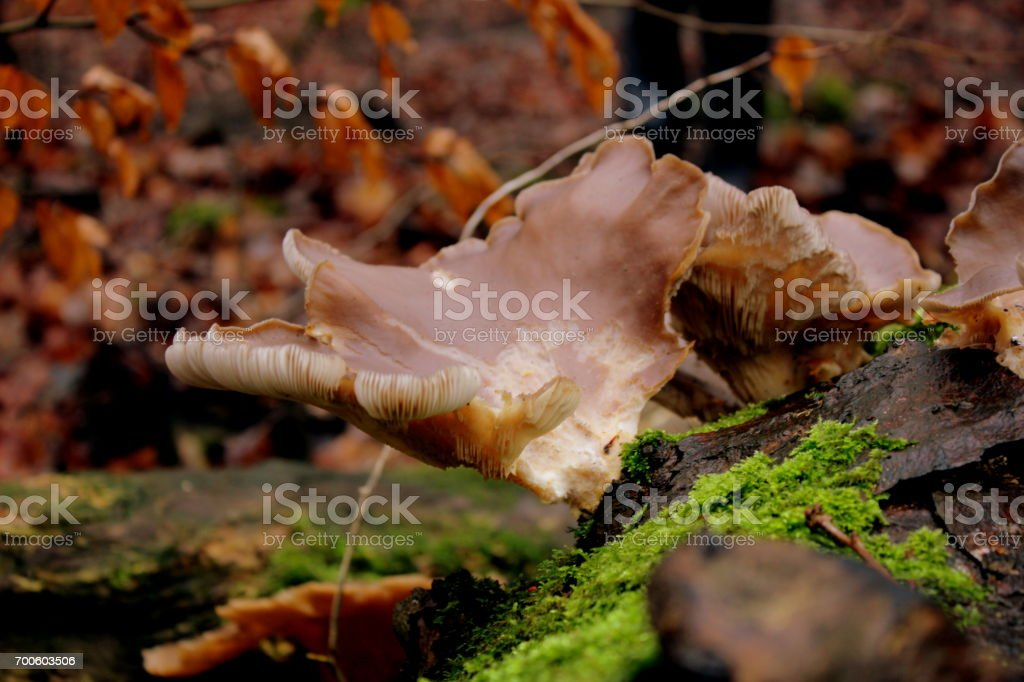 Close up Mushroom growing at ground level in woodland, Yorkshire stock photo