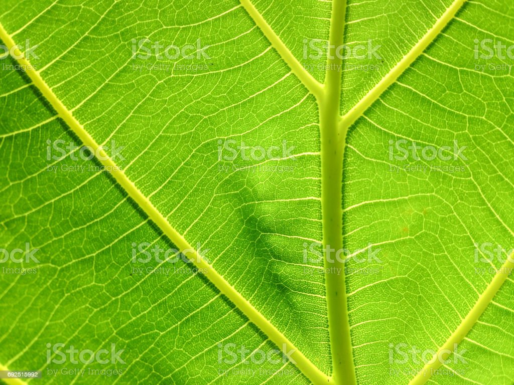 close up natural green leaf texture with sunlight background stock photo
