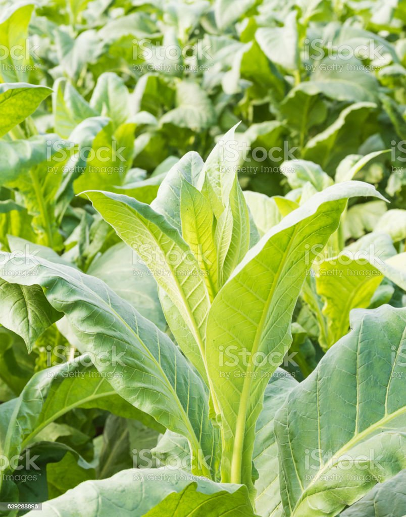 Close up Nicotiana tabacum stock photo