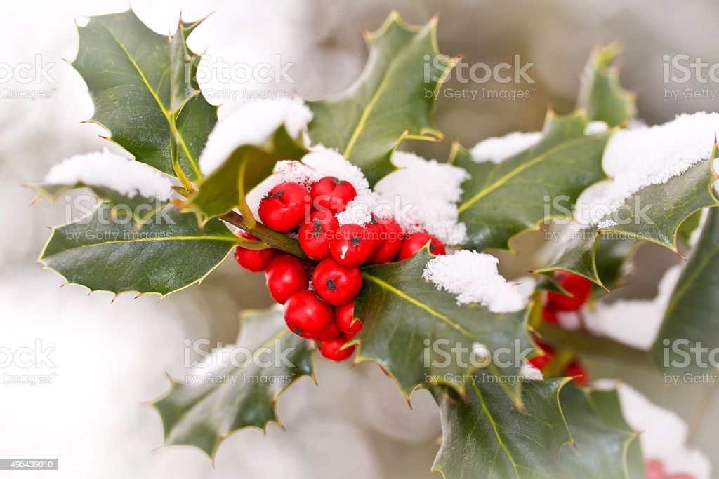 Close up od a branch of holly  with snow stock photo