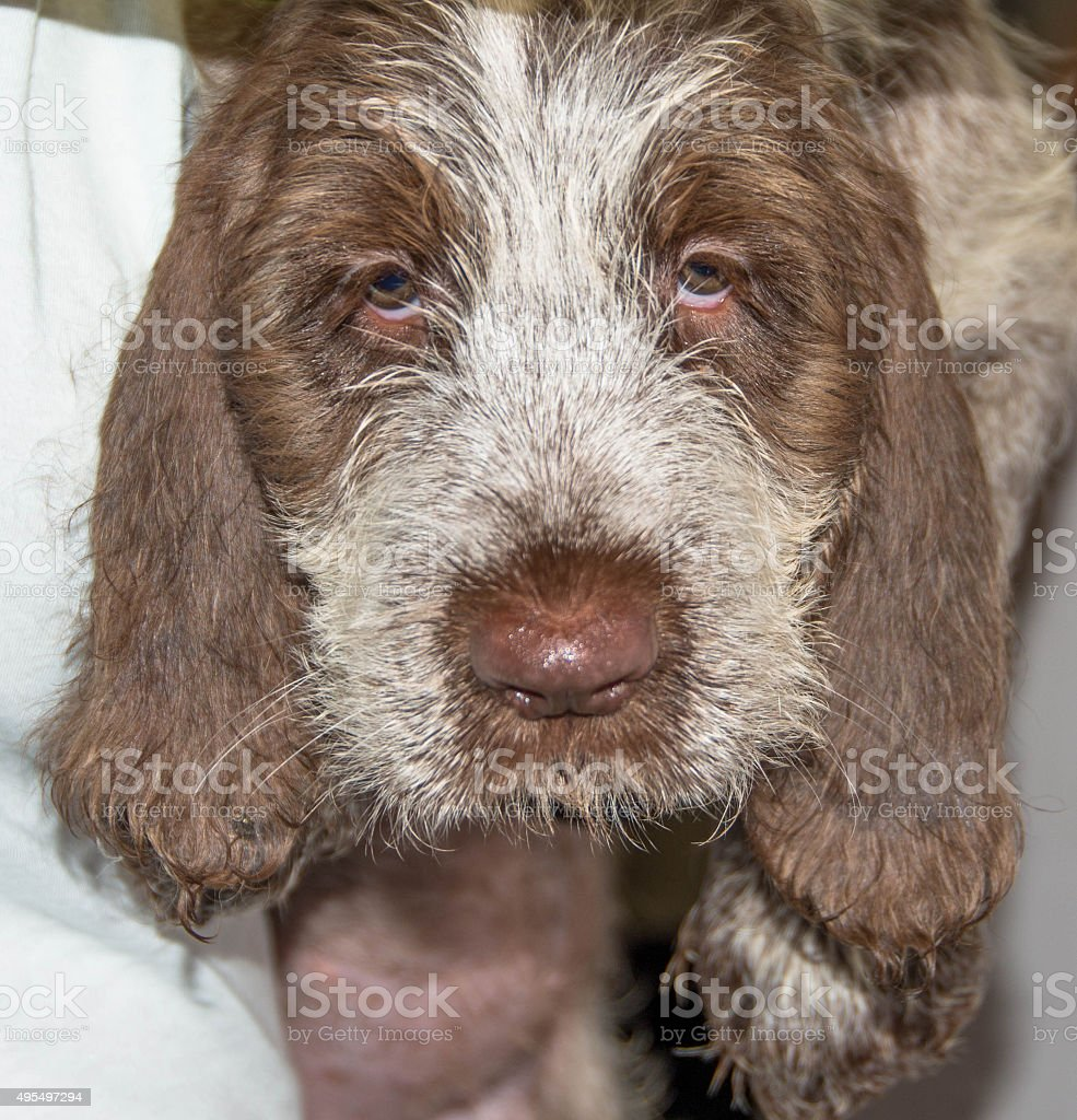Close up of 8 week old puppy Spinone Italiano stock photo