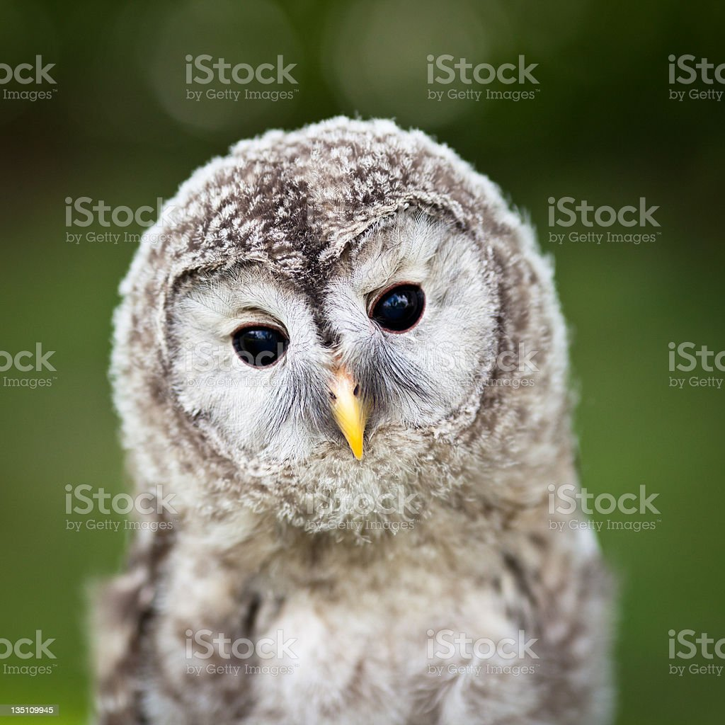 Close up of a baby Tawny Owl (Strix aluco) stock photo
