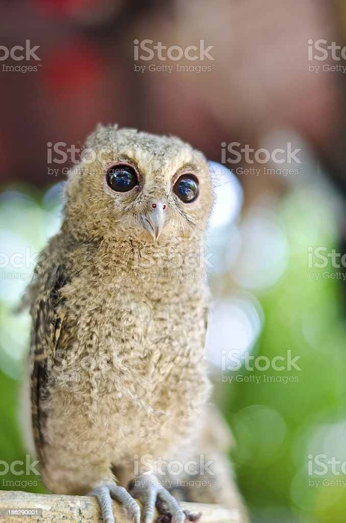 Close up of a baby Tawny Owl royalty-free stock photo