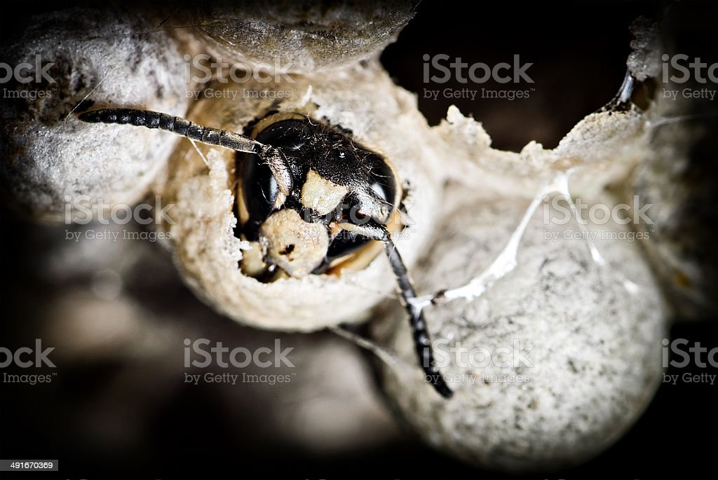 Close up of a Bald-Faced Hornet in a Nest stock photo