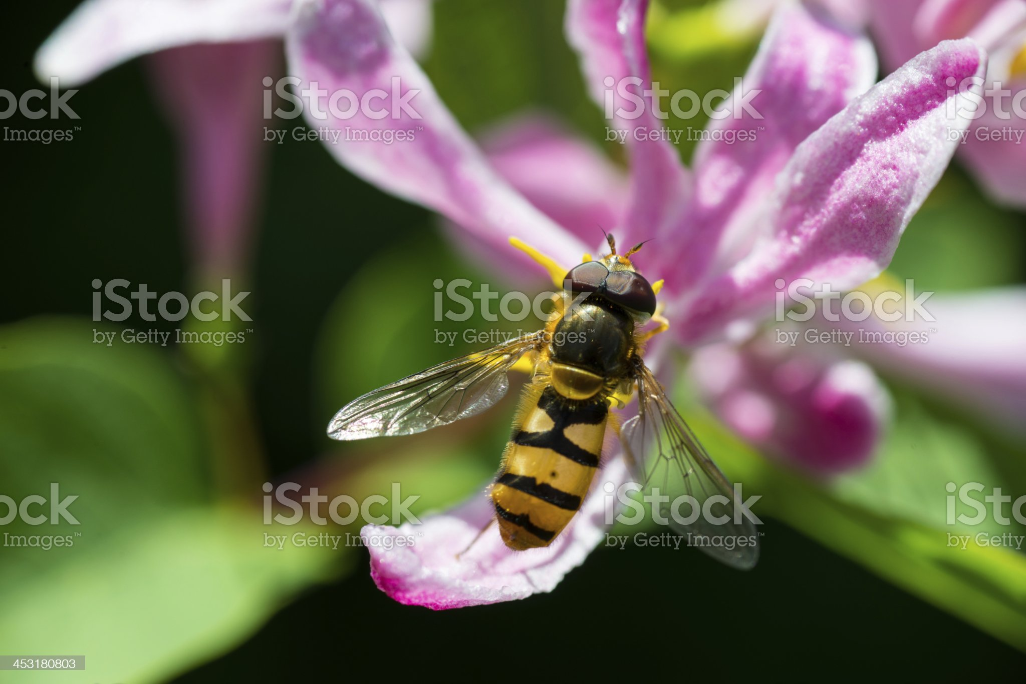 close up of a bee on pink flower royalty-free stock photo