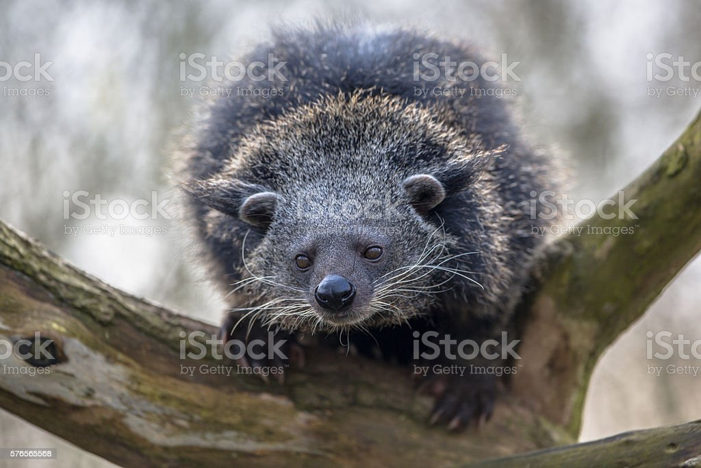 Close up of a binturong or bearcat stock photo