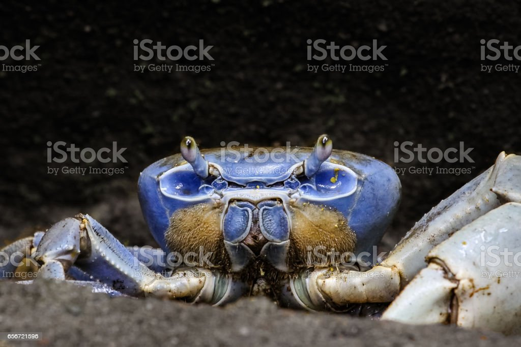 Close up of a blue crab in the mangroves stock photo