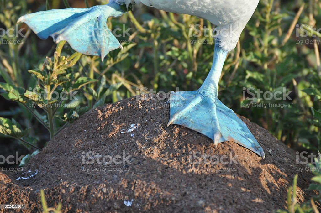 Close up of a Booby's feet in the Galapagos stock photo