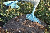 Close up of a Booby's feet in the Galapagos