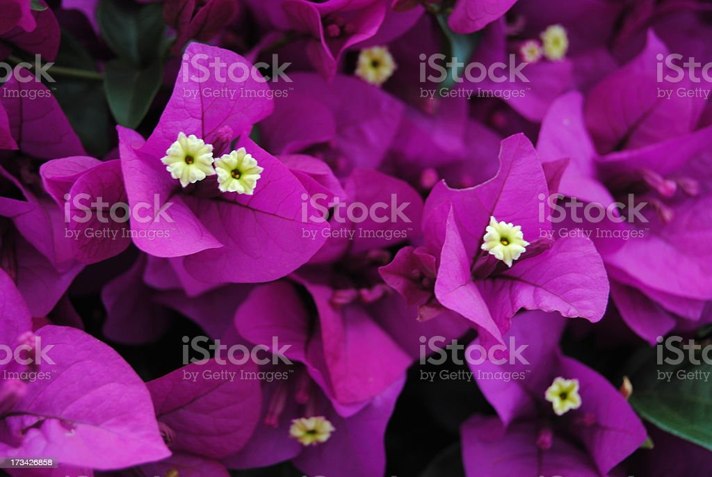 Close up of a Bougainvillea stock photo