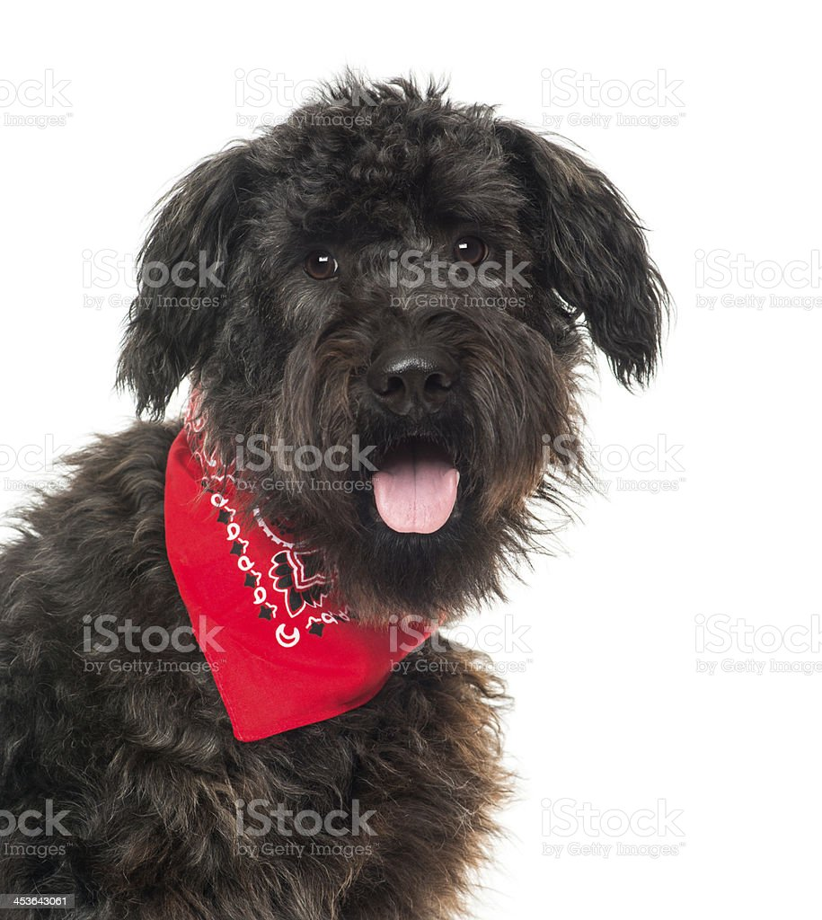 Close up of a Bouvier des Flandres, panting, with bandana royalty-free stock photo