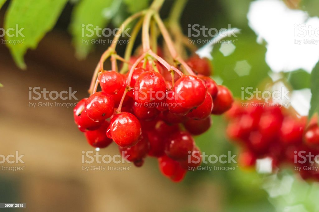 A close up of a branch of red berries with green leaf and deep sharpness stock photo