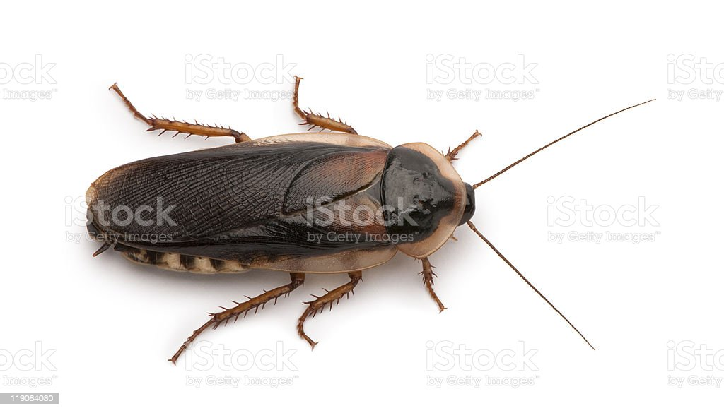 Close up of a brown Dubai cockroach  stock photo