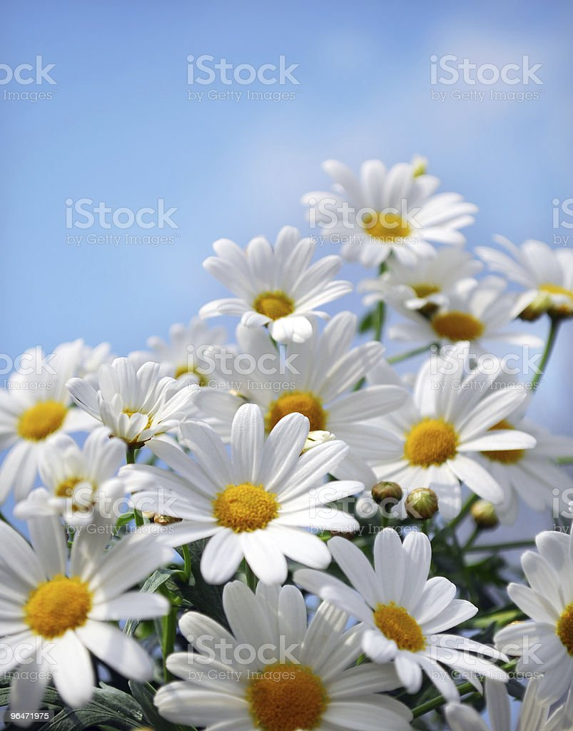 Close up of a bundle of wild marguerites stock photo