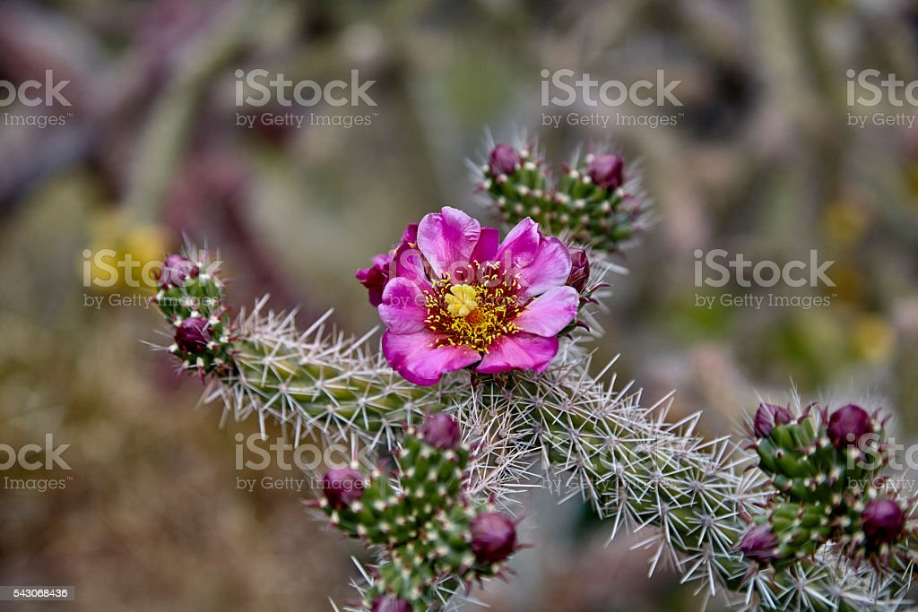 Close up of a Cactus Flower stock photo