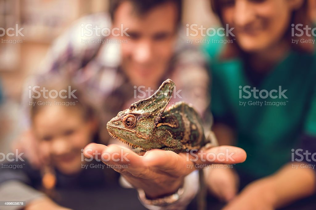 Close up of a chameleon in human hand. stock photo