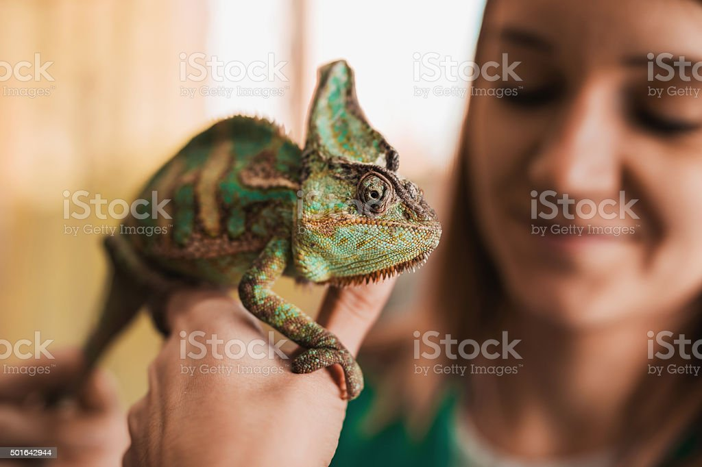 Close up of a chameleon in woman's hand. stock photo