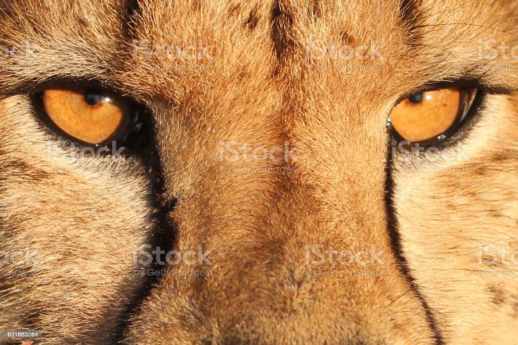 A close up of a cheetah stock photo