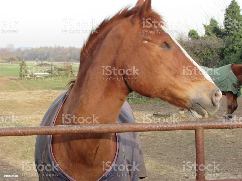close up of a chestnut horse stock photo