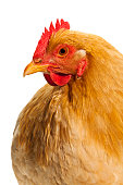 Close Up of a Chicken on White Background