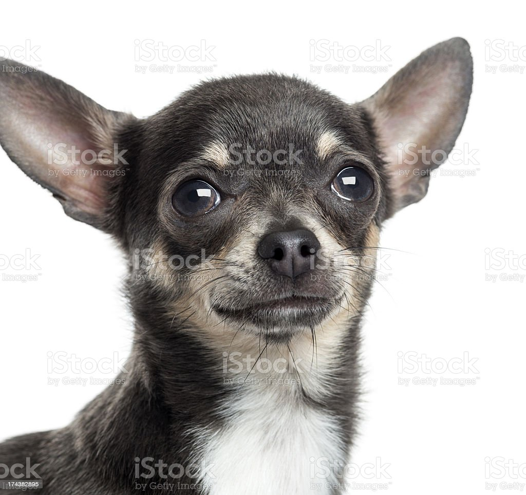 Close up of a Chihuahua, isolated on white royalty-free stock photo