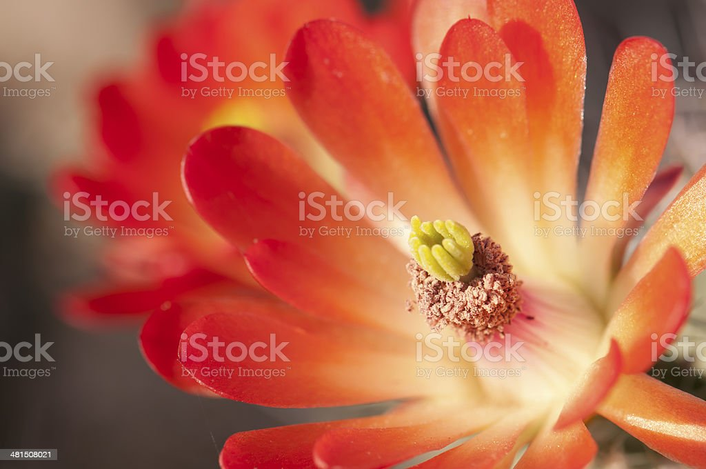 Close up of a Claret Cup Hedgehog Cactus Blossom royalty-free stock photo