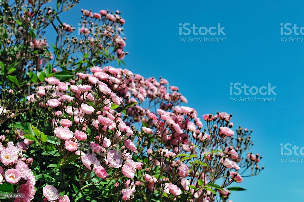 Close -up of a climbing rose 'Heavenly Pink' stock photo