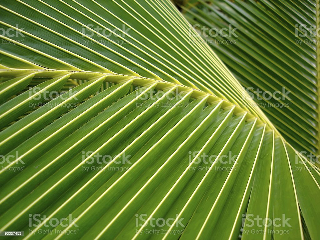 Close up of a coconut palm leaf stock photo