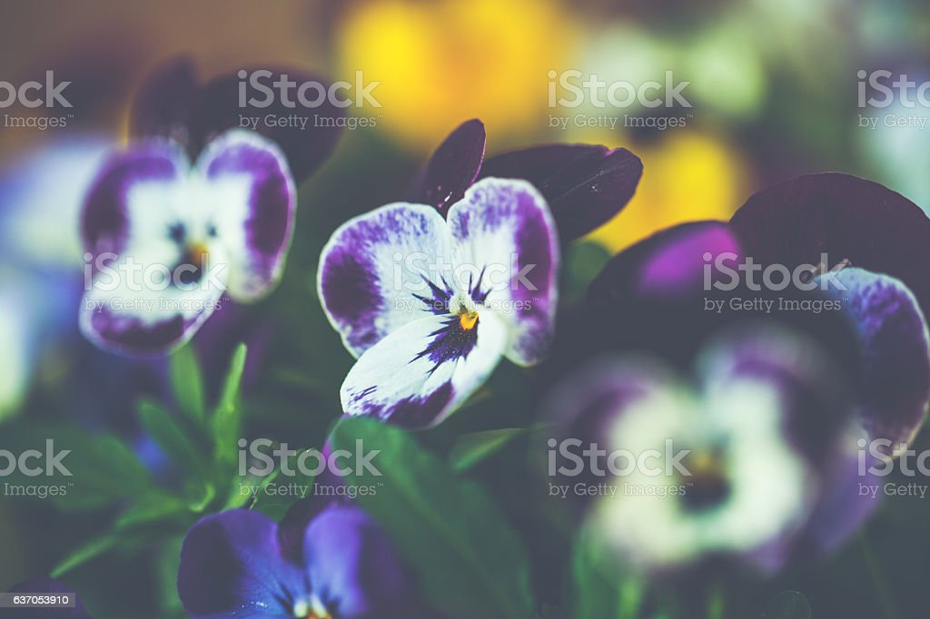 Close up of a colourful pansy in spring stock photo